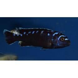 Pseudotropheus sp.elongatus...