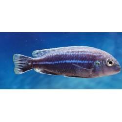 Melanochromis dialeptos...