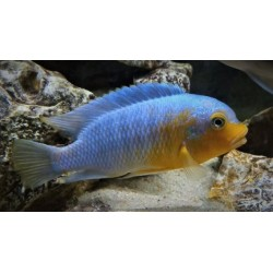Petrotilapia sp.yellow chin...