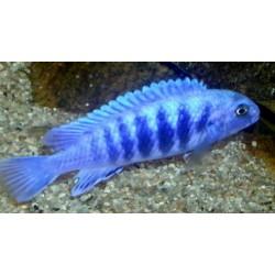 Labidochromis freibergi...