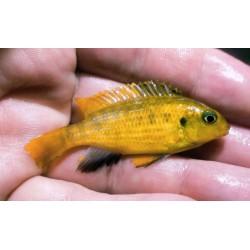 Tropheops sp.yellow Lumbira...