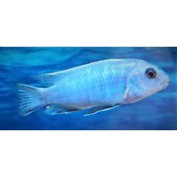 Labidochromis gigas Chiwi...