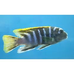 Labidochromis sp.mbamba...
