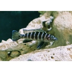 Neolamprologus cylindricus...