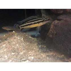 Julidochromis ornatus...