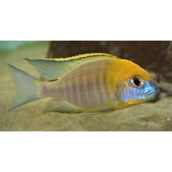 Lethrinops sp. yellow...