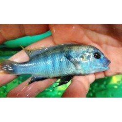 Labidochromis sp.blue white...