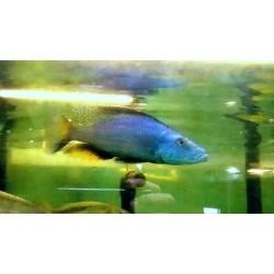 Dimidiochromis...