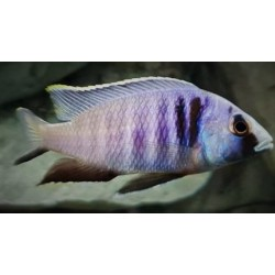 Placidochromis electra...