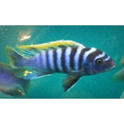 Cynotilapia zebroides red...