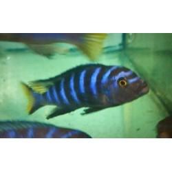 Metriaclima sp.elongatus...