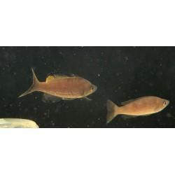 Cyprichromis microlepidotus...