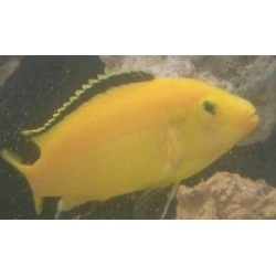 Labidochromis caeruleus...