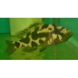 Nimbochromis livingstonii...