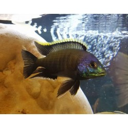 Placidochromis sp.blue...