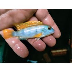 Labidochromis sp.perlmutt...