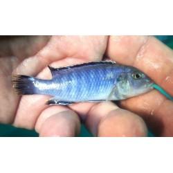 Labidochromis sp.gigas...