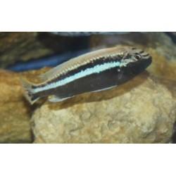 Melanochromis auratus...
