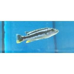 Melanochromis kaskazini...